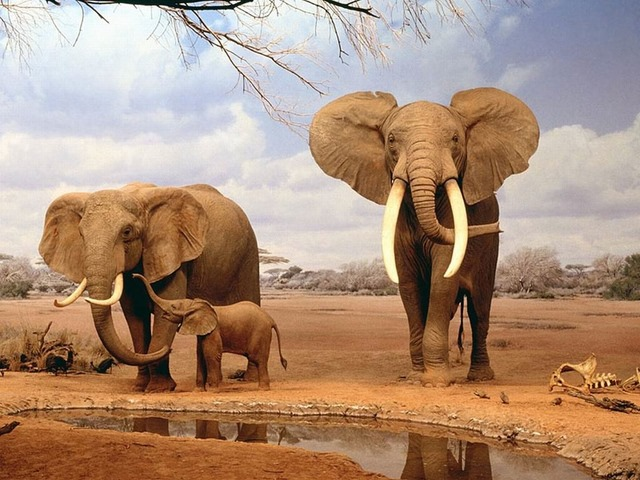 الجريمة الرابحة.. «العاج» يهدد أفيال أفريقيا بالانقراض