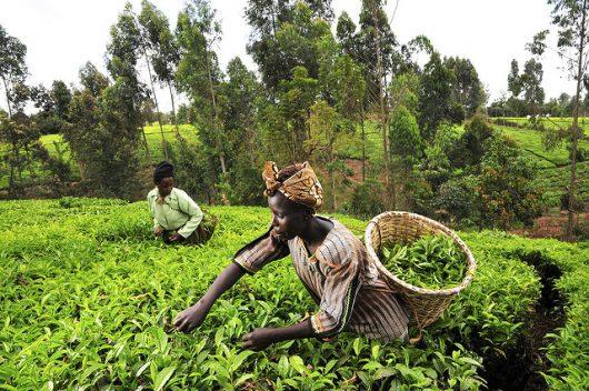 بسبب الجراد.. أخطار غذائية طويلة الأجل في كينيا