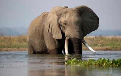 قرار صادم.. زيمبابوي تسمح بصيد الفيلة المهددة بالانقراض